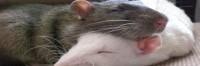 Rat Buddies