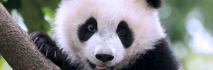 Panda Pee