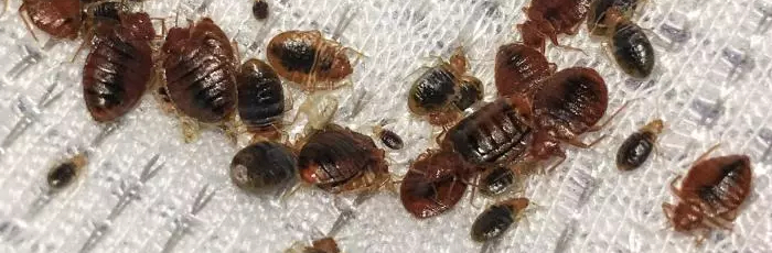 Twitters's Bed Bugs