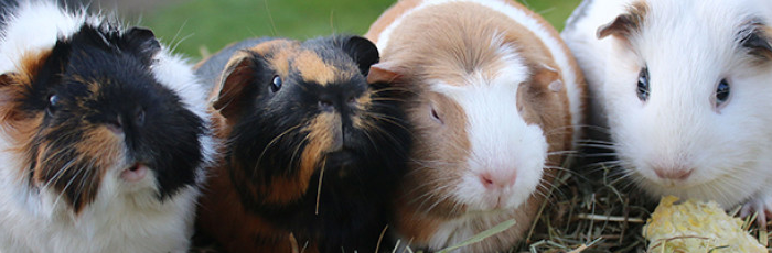 Guinea Pigs In The Isle of Wight