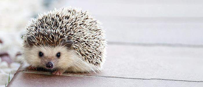 Muller's Hedgehog